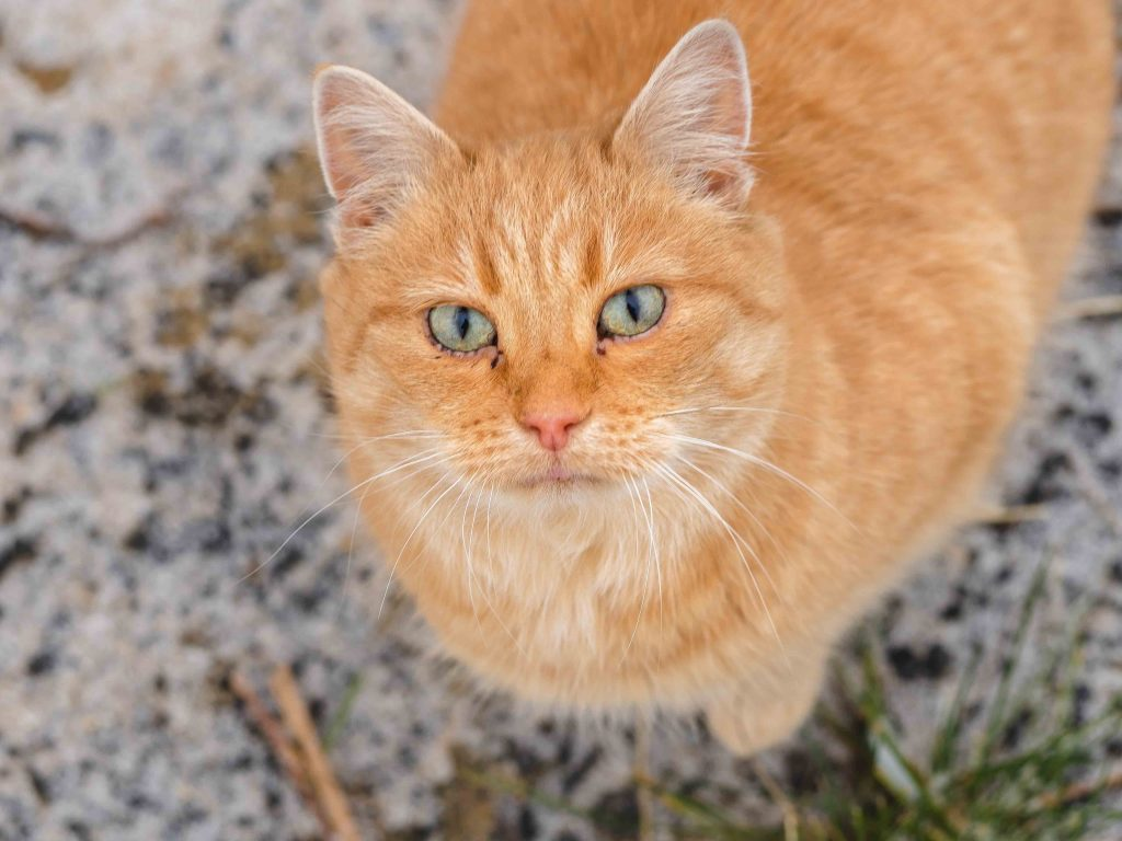 Kissa, Kivikkolan tila